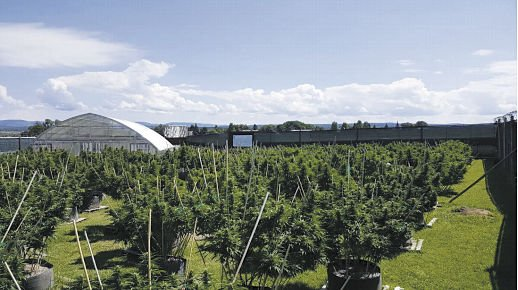 Marijuana field (photo)